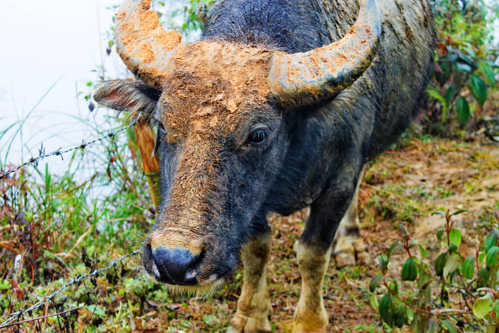 buffalo in SaPa, Vietnam - It's a Food Life